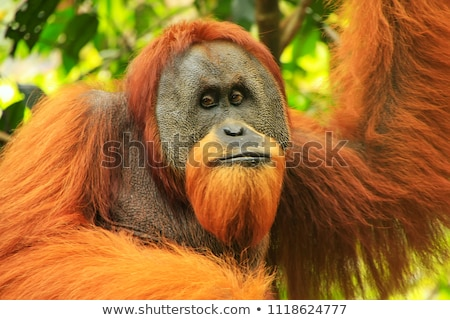 An endangered orangutan Stock photo © bluering