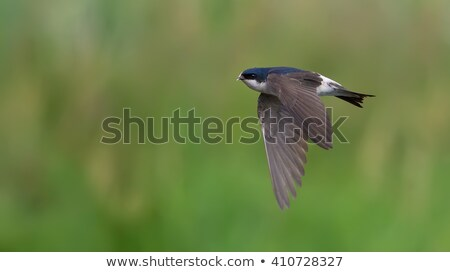 Stock photo: House Martin in Flight