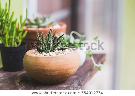 Aloe vera plants and cacti Stock photo © bluering