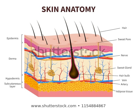 Stock photo: Healthy artery anatomy, artery layers detailed illustration on a