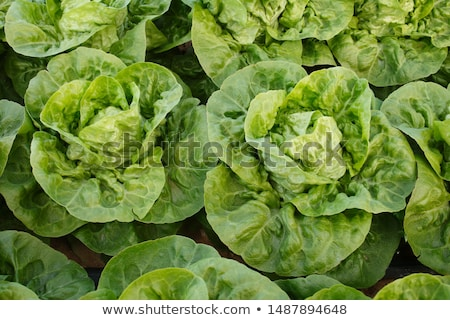 little gem lettuce Stock photo © Digifoodstock