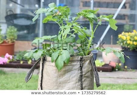 Stockfoto: Groeiend · omhoog · groene · bush · veld