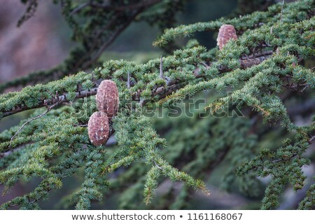 Narrow cedar trees at Troodos mountains in Cyprus Stock photo © Mps197