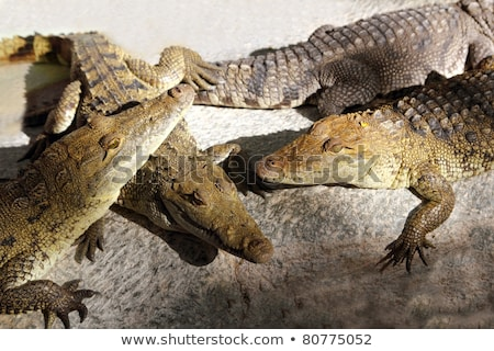 Crocodiles having a sun bath in South America Stock photo © lunamarina