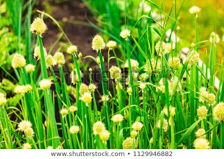 Closeup shot of flowers of green onion on a garden bed Stock photo © Nobilior