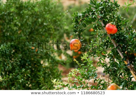 成熟 準備 柚子 掛 灌木 熱帶 商業照片 © amok
