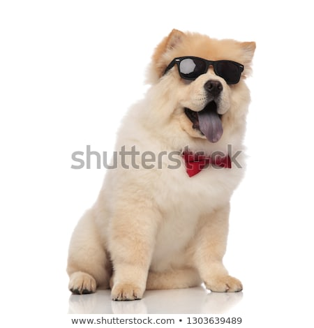 curious chow chow wearing red bowtie and sunglasses sitting stock photo © feedough