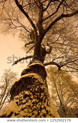 Zimą noc drzewo śniegu widoku naturalnych Zdjęcia stock © xbrchx
