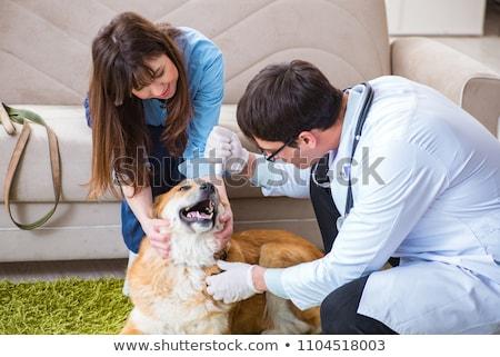 Vet doctor visiting golden retriever dog at home Stock photo © Elnur