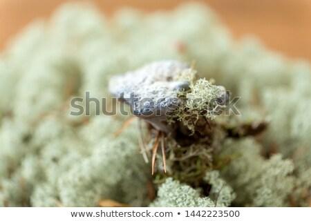 菌 トナカイ 苔 自然 キノコ 環境 ストックフォト © dolgachov