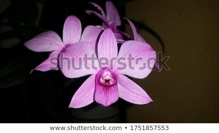 fresco · rosa · orquídea · pote · cor · de · malva · azul - foto stock © ansonstock