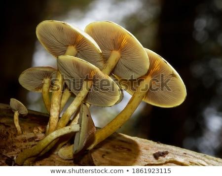 orange mushroom clump Stock photo © pancaketom