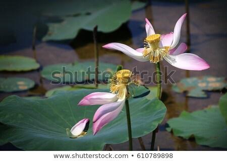 secas · lótus · semente · quadro · flor · tropical - foto stock © tito