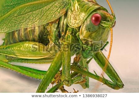グラスホッパー マクロ ショット 小さな 緑色の葉 ストックフォト © azamshah72