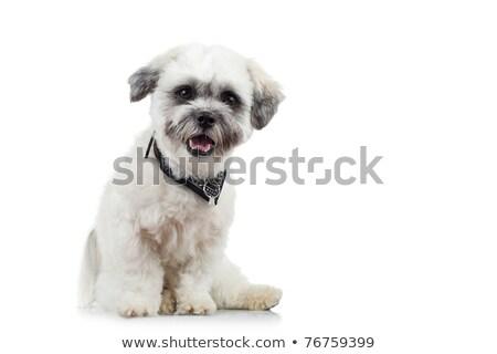 küçük · havanese · köpek · yavrusu · beyaz · sevimli - stok fotoğraf © feedough