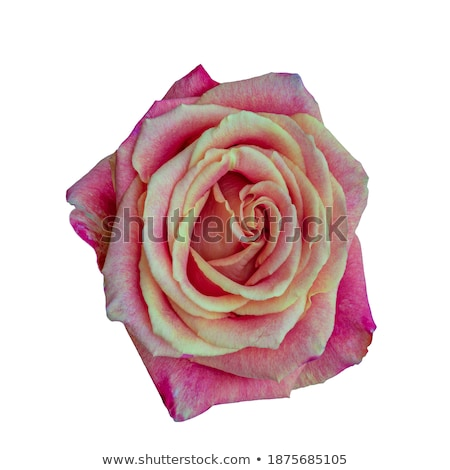 Inner view of a rose Stock photo © rbiedermann
