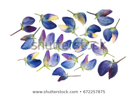 Close up of a lupine isolated on a white background Stock photo © inxti