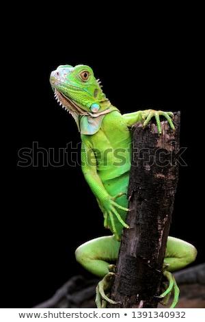 green lizard iguana on a tree branch Stock photo © RuslanOmega
