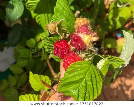 Lampone 15 alimentare rosso frutti bianco Foto d'archivio © LianeM