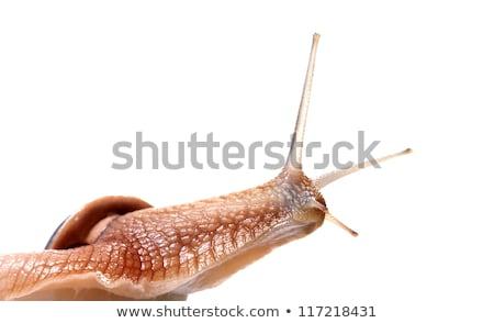 Funny snail looking away Stock photo © BSANI