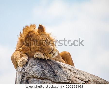 Uyku aslan kadın doğa kafa Stok fotoğraf © KMWPhotography