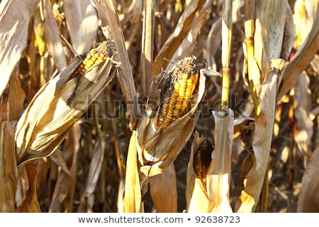 natural full frame background with withered corn plants  Stock photo © meinzahn