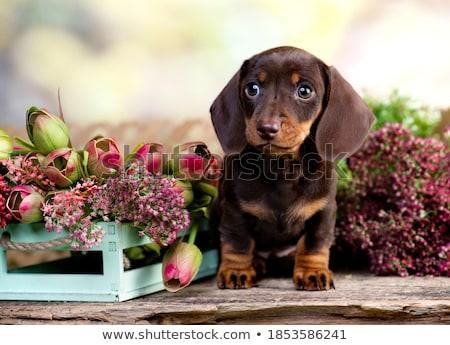 geïsoleerd · twee · teckel · puppies · vergadering · cute - stockfoto © taiga