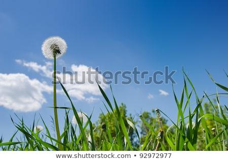 Starych Dandelion zielona trawa dziedzinie Błękitne niebo niebo Zdjęcia stock © mycola