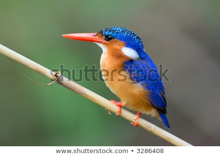 malachite kingfisher alcedo cristata stock photo © dirkr