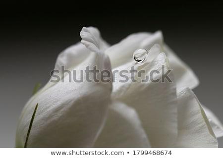 Virág harmat ibolya Stock fotó © MiroNovak