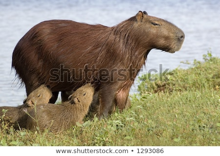 Capibara (Carpincho) Feeding her Young Stock photo © leetorrens
