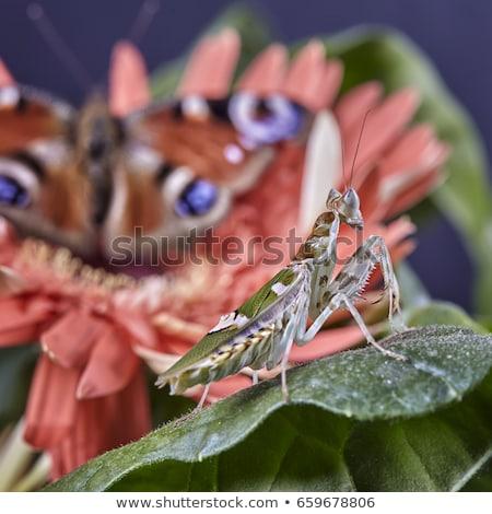 Jeweled Flower Mantis or Indian Flower Mantis Stock photo © Yongkiet