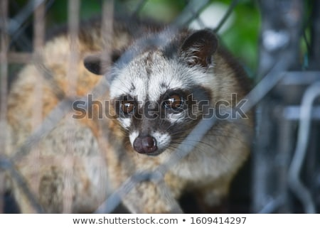 Luwak - Asian palm civet in a cage Stock photo © dinozzaver