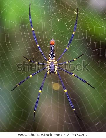 Kadın altın web örümcek orman doğa Stok fotoğraf © master1305