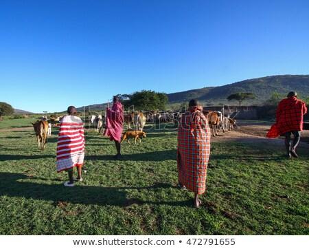 grazing cows in masai mara national park stock photo © meinzahn