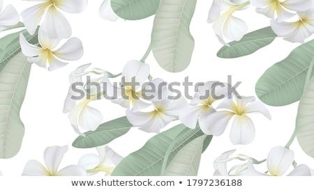 white Plumeria blossoms Stock photo © prill
