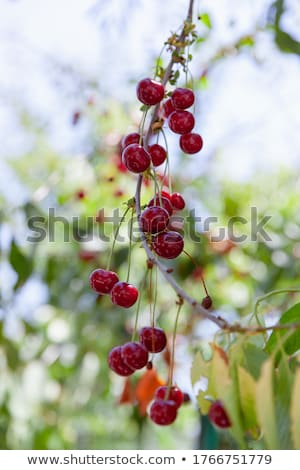 Monte cerejas muitos vermelho árvore Foto stock © funix