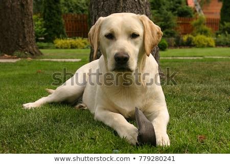 Típico labrador retriever jardín primavera triste animales Foto stock © CaptureLight