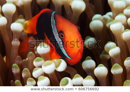 Tomato clownfish Stock photo © bluering