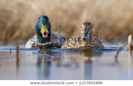 Ilustracja ślub para ptaków funny zwierząt Zdjęcia stock © adrenalina