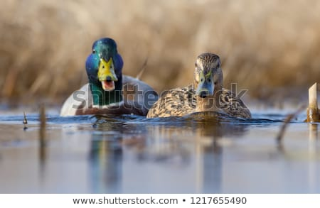 ducks spouses Stock photo © adrenalina