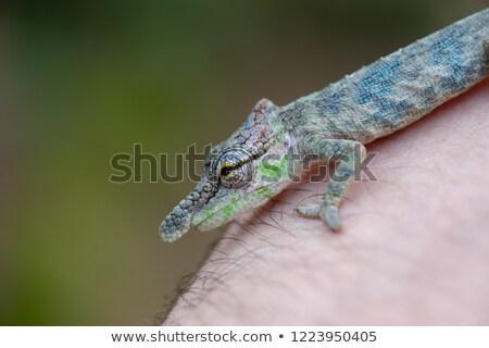 Nose-horned Chameleon (Calumma nasutum) Stock photo © artush