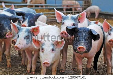 Live varken boerderij portret dier modderig Stockfoto © sherjaca