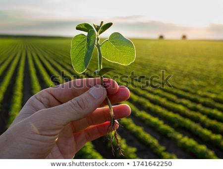 Közelkép férfi gazda kéz megvizsgál szójabab Stock fotó © stevanovicigor