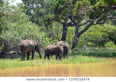 Stock photo: Two Elephants standing under a tree in the shade.