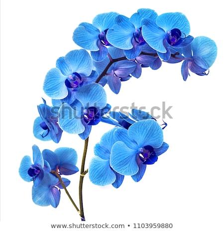 Orkide çiçek çiçek vektör kroki Stok fotoğraf © frescomovie
