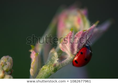 Macro of a Red Ladybug in vineyard on green wine leaf defocused background stock photo © FreeProd