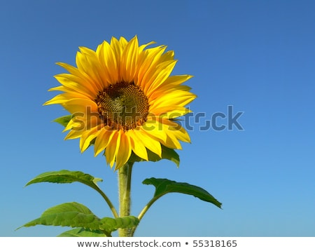 field of blossoming sunflowers against the blue sky stock photo © kotenko