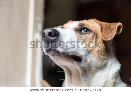 Közelkép zihálás angol bulldog lefelé néz oldal Stock fotó © feedough