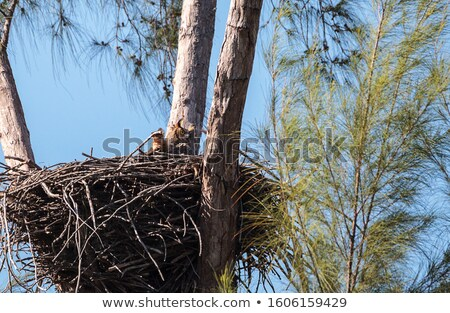 Great horned owl in nest Stock photo © pictureguy